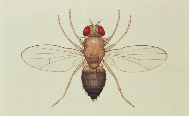 Illustration of Drosophila melanogaster (public domain).