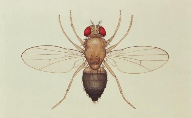 Illustration of Drosophila melanogaster (public domain).
